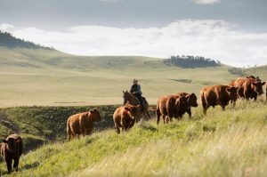 Man on a horse raising cattle herd.